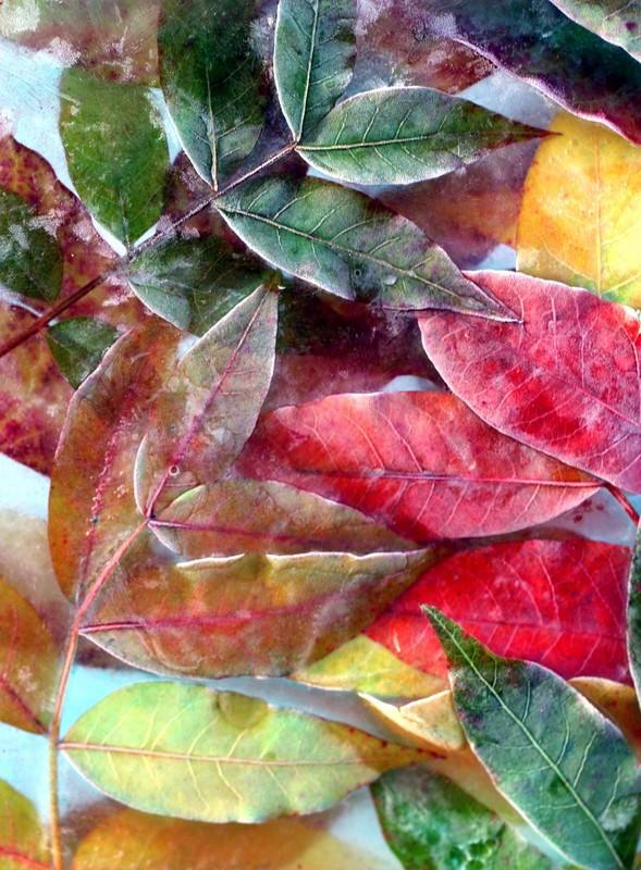 11-15- 03 frozen leaves  Atascadero Lake California