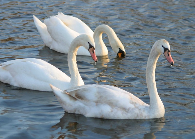 Swans on Atascadero Lake 1-04