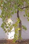 Little-Wall-Tree San Luis Obispo, CA  03-18-04