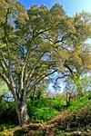 Great-Spreading-Blue-Oak 03-20-04