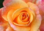Orange-beauty rose