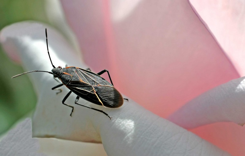 Pink Rose Box Elder Bug