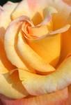 Portland's Gold Rose