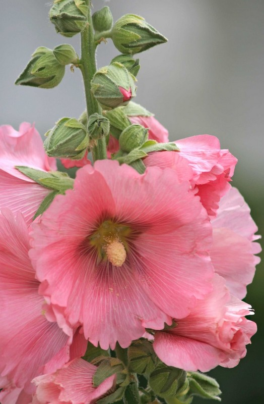 Atascadero Lake Hollyhock