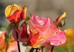 """Love Roses"" 4-16-04"