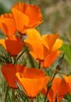 Californis Poppy Bouquet
