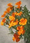 """California """"Gutter"""" Poppies 4-22-04"""