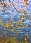 11-2-03  Autumn Leaves  at Atascadero Lake, CA