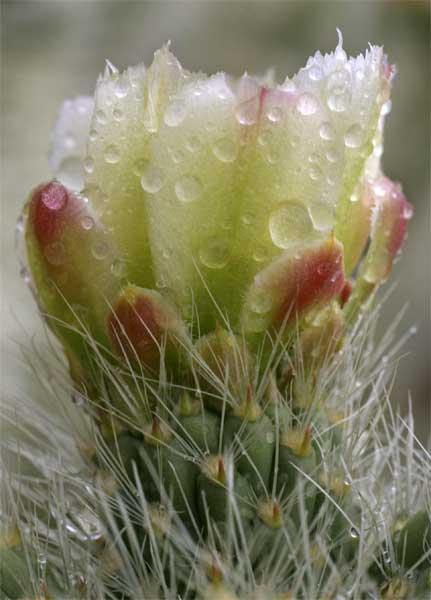 Wet-Teddybear-Cactus 4-03-04