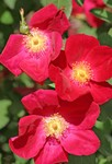 """""""Red Rose Trio"""" 4-25-04"""
